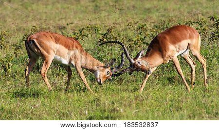 The battle for the female impala. Kenya, Africa
