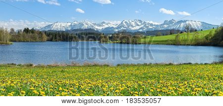 Beautiful Dandelion flower meadow at lakeside and snow covered mountains in springtime. Location Bavaria, Alps, Allgau, Germany. Fresh green grass, blue water and sky, white mountains and clouds.