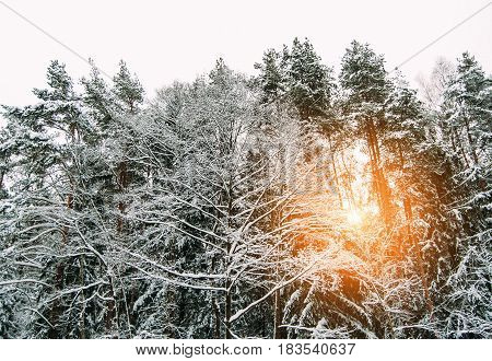 pine forest in winter snow, bottom view