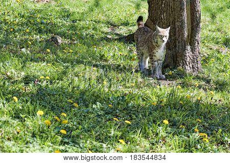 Lynx Standing Near A Tree