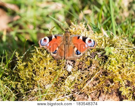 Close-up of colorful European Common Peacock Butterfly or Aglais io