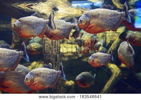 Piscean fish in the aquarium. Exotic predatory fish of the underwater world swim in the aquarium. Clear clear water, marine life, under water.