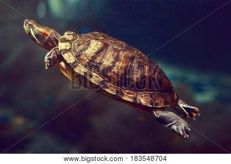 Sea turtle in an aquarium in dark blue water. At the bottom of the aquarium is a beautiful turtle. Inhabitants of the underwater world. In the ocean or the sea, a sea turtle floats under water.