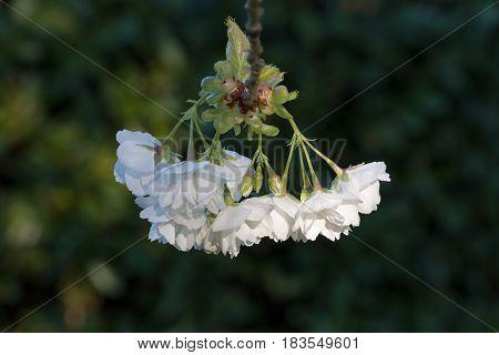 White Blossom on garden tree in Springtime