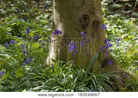Native English Bluebells and tree in woodland.