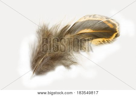 Pheasant feather isolated on white background close up