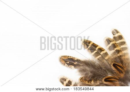 Pheasant feathers isolated on white background close up