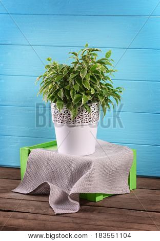 Beautiful ficus in pot on blue background