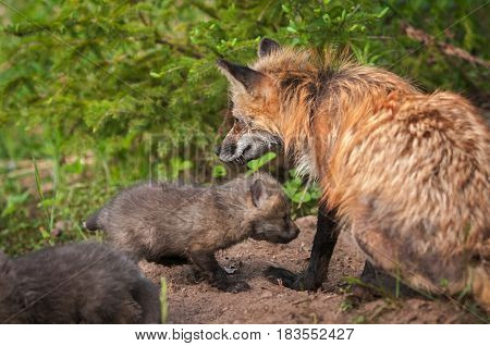 Red Fox Vixen (Vulpes vulpes) Sits With Kits - captive animals