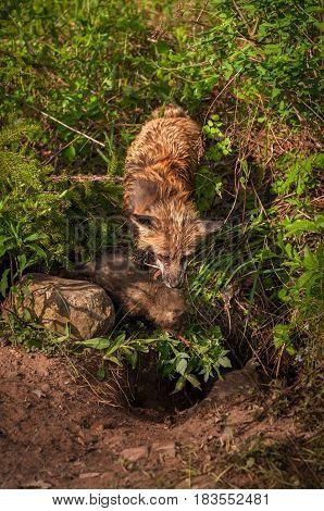 Red Fox Vixen (Vulpes vulpes) With Kit Looks Into Den - captive animals