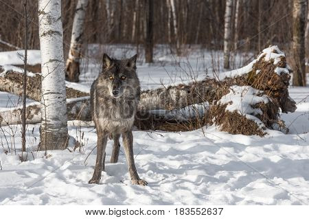 Black Phase Grey Wolf (Canis lupus) Stands at Edge of Forest - captive animal