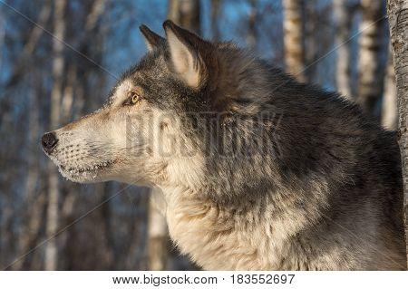 Grey Wolf (Canis lupus) Profile Left - captive animal