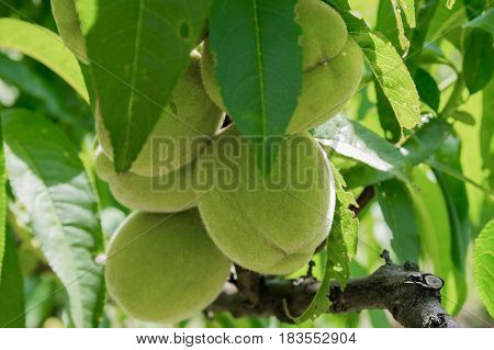 Unripe peaches on a close up branch.