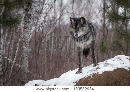 Black Phase Grey Wolf (Canis lupus) Looks Down From Atop Rock - captive animal