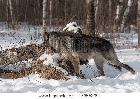Black Phase Grey Wolf (Canis lupus) Examines Log - captive animal