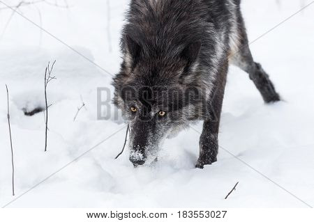 Black Phase Grey Wolf (Canis lupus) Nose Down Through Snow - captive animal
