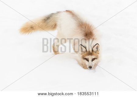 Red Marble Fox (Vulpes vulpes) Digs in Snow - captive animal
