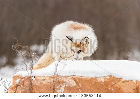 Red Marble Fox (Vulpes vulpes) Atop Rock - captive animal
