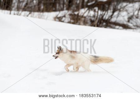 Red Marble Fox (Vulpes vulpes) Runs Left Through Snow - captive animal