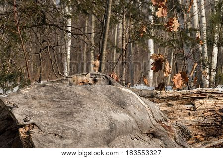 Amber Phase Red Fox (Vulpes vulpes) Peers Over Log - captive animal