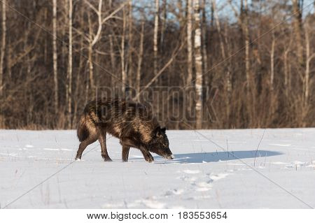 Black Phase Grey Wolf (Canis lupus) Nose Down in Snowy Field - captive animal