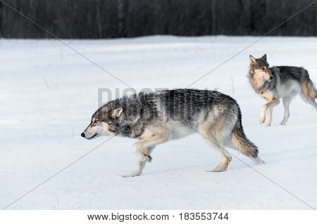 Grey Wolves (Canis lupus) Stalk Left Through Field - captive animals