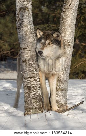 Grey Wolf (Canis lupus) Looks Left Between Trees - captive animal