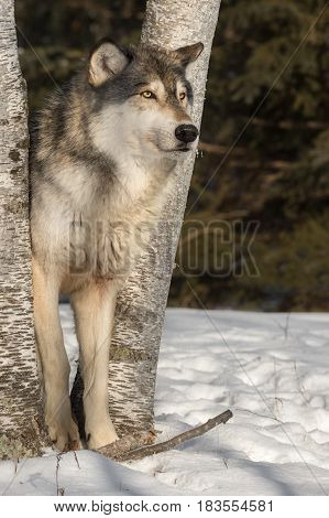 Grey Wolf (Canis lupus) Looks Right Between Tree Trunks - captive animal