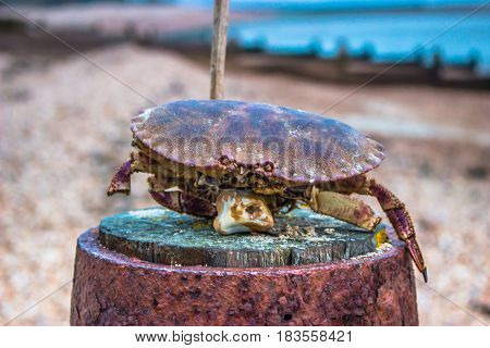 Dead crab on the beach in winter