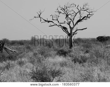 One dead tree in wide African landscape monochrome.