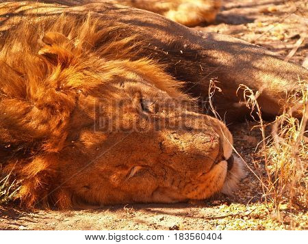 Lion asleep closeuprelaxing in warth of late afternoon sun with small wound on nose.