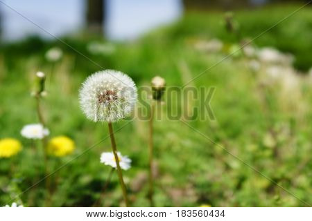 closed up of dandelion in the flowers garden in sunshine day.