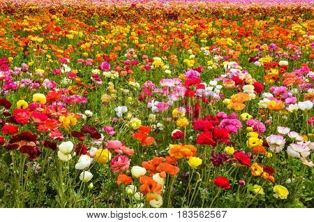 Colorful Ranunculus fields in Carlsbad California USA