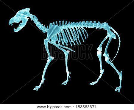 Negative radiograph of a wolf bone skeleton