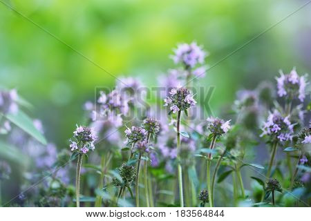 Spring flowering of thyme on a green background