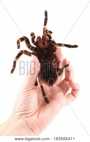 Tarantula spider female (Vitalius paranaensis) example of how to safely hold the spider in your hand