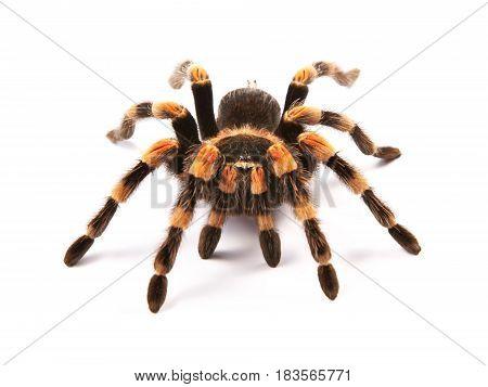 Mexican redknee tarantula (Brachypelma smithi) spider female