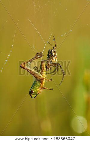 Spider killing a grasshopper caught in spider web