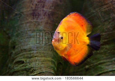 Discus (Symphysodon) red cichlid the freshwater fish native to the Amazon River basin
