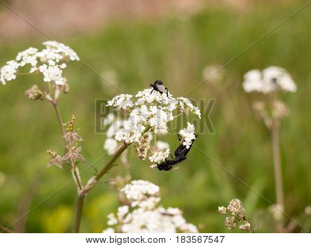 A Bunch Of Black Flies Resting On Some Cow Parsley