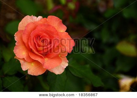 A bright orange rose after the night rain