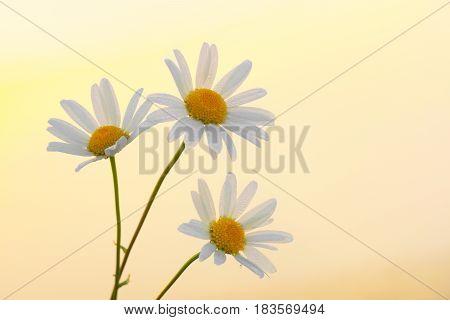 Three daisies on a summer dawn background.