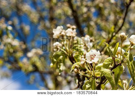 Pear Flower. Fruit in the spring. Growing and selling of pears