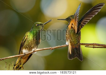 Two Buff-tailed Coronet Hummingbirds sitting on one banch and fighting Mindo in Ecuador