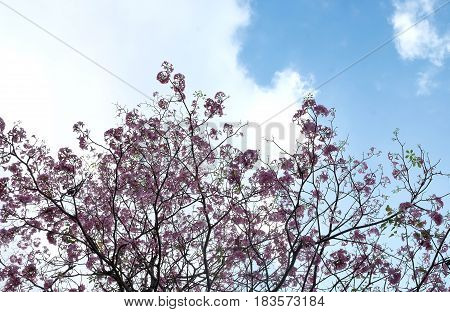 Pink flowers Tabebuya rosea blossom on with tree Pantip pink flowers.pink flower bloom on the tree.tabebuya flower.