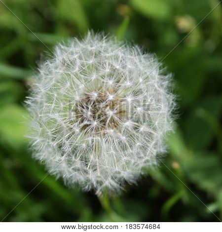 Delicate dandelion seed head with florets intact