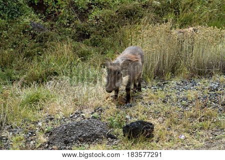 A Wild warthog in the Bale Mountains National Park of Ethiopia