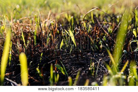 Green Grass Lawn And Burnt Old Dry Grass