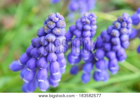 Clusters of early spring blooming Grape hyacinths