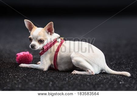 Little cute chihuahua lying resting.Looking at camera
